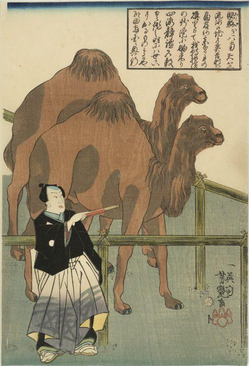 Yoshitsuya Camels