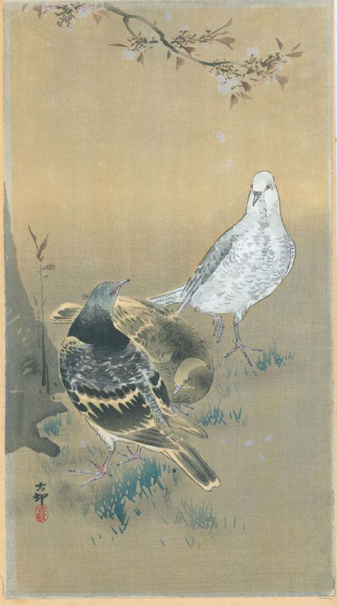 Koson Pigeons